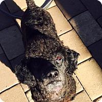 Adopt A Pet :: Hershey - Spartanburg, SC
