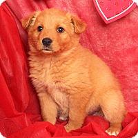 Adopt A Pet :: Dixie Border Aussiehoula - St. Louis, MO