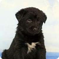 Adopt A Pet :: Shepherd pups--arriving soon in NH! - Chichester, NH