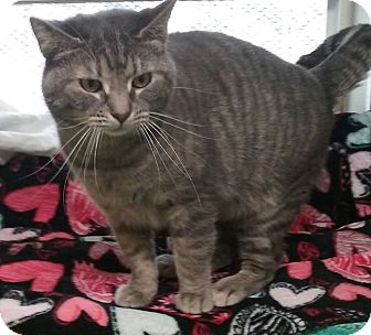Domestic Shorthair Cat for adoption in Pottsville, Pennsylvania - Half moon