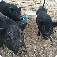 Adopt A Pet :: 7 Piggies - Oak Glen, CA