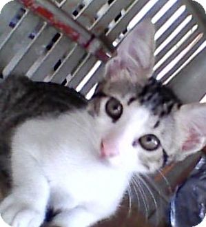 Domestic Shorthair Kitten for adoption in Sterling Heights, Michigan - Pierre