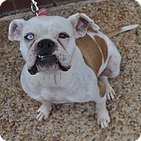 Adopt A Pet :: Suzie - Atlanta, GA