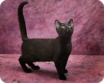 Domestic Shorthair Kitten for adoption in Harrisonburg, Virginia - Jaden