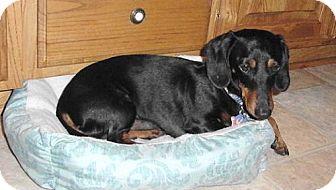 Dachshund Dog for adoption in Dallas, Texas - Chance 2