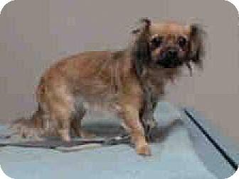 King Charles Spaniel Mix Dog for adoption in Portland, Oregon - Perci