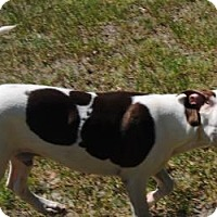 Pointer/American Bulldog Mix Dog for adoption in Ridgeland, South Carolina - Bronco