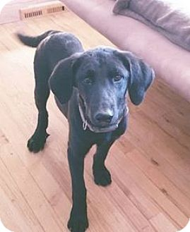 Labrador Retriever Mix Puppy for adoption in DeForest, Wisconsin - Charles
