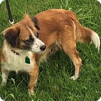 Sheltie, Shetland Sheepdog/Pomeranian Mix Dog for adoption in Pennigton, New Jersey - Tanya