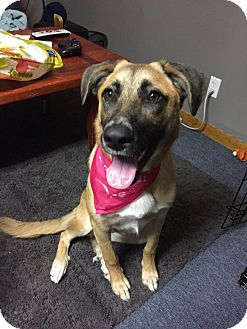 Shepherd (Unknown Type) Mix Dog for adoption in Chicago, Illinois - Gracie