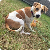 Adopt A Pet :: Piper - Spring, TX