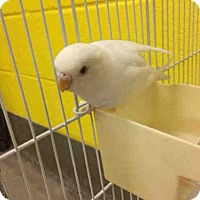 Adopt A Pet :: EASTER LILY - Upper Marlboro, MD