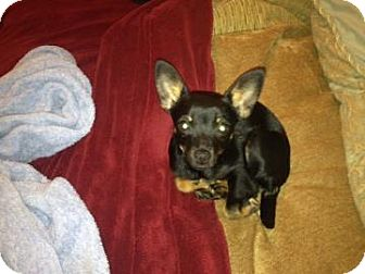 Miniature Pinscher Mix Dog for adoption in Tucson, Arizona - Mischief