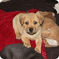 Adopt A Pet :: WRIGLEY - Loxahatchee, FL