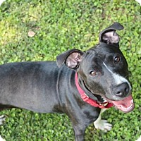 Labrador Retriever/American Pit Bull Terrier Mix Puppy for adoption in Atlanta, Georgia - Squirrel