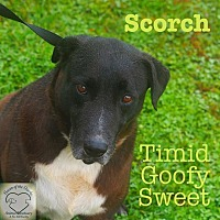 Adopt A Pet :: Scorch - Washburn, MO