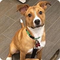 Adopt A Pet :: Angel - PENDING - Grafton, WI