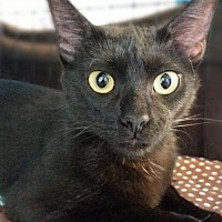 Domestic Shorthair Cat for adoption in Houston, Texas - Tami