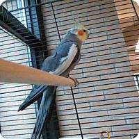 Adopt A Pet :: BERT - Toronto, ON