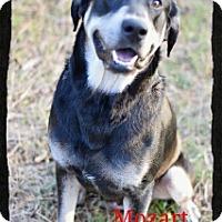 Adopt A Pet :: Mozart - Old Saybrook, CT