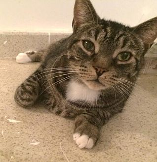 Domestic Shorthair Cat for adoption in Montreal, Quebec - Harvey
