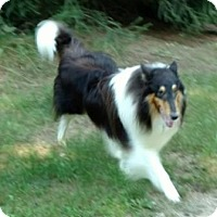 Collie Dog for adoption in Dublin, Ohio - ROCCO