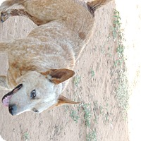 Australian Cattle Dog Dog for adoption in Denver City, Texas - Quigley