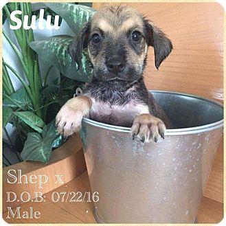Shepherd (Unknown Type) Mix Puppy for adoption in DeForest, Wisconsin - Suku