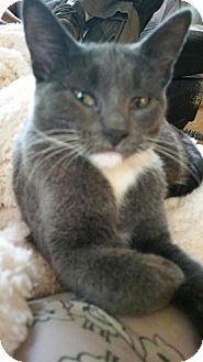 Domestic Shorthair Kitten for adoption in Montello, Wisconsin - Aspen