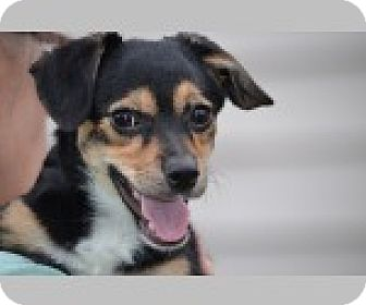 Dachshund Mix Dog for adoption in Pittsboro, North Carolina - Emily