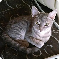 Domestic Shorthair Cat for adoption in Glendale, Arizona - Jinx
