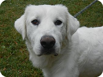 Great Pyrenees Dog for adoption in Granite Bay, California - BONNEY