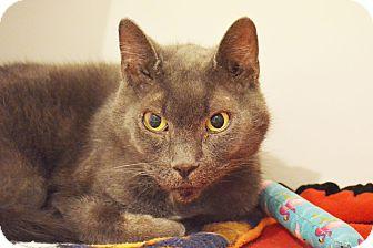 Domestic Shorthair Cat for adoption in Lincoln, Nebraska - Brewster