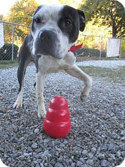Boxer Mix Dog for adoption in Greensboro, North Carolina - Saucy
