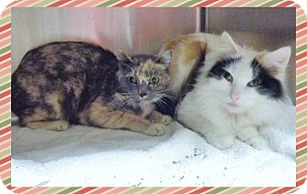 Domestic Shorthair Cat for adoption in Marietta, Georgia - MINDY & MISSY