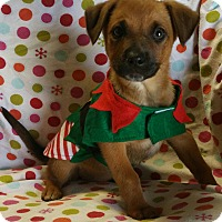 Adopt A Pet :: Pumpkin spice - Los Angeles, CA