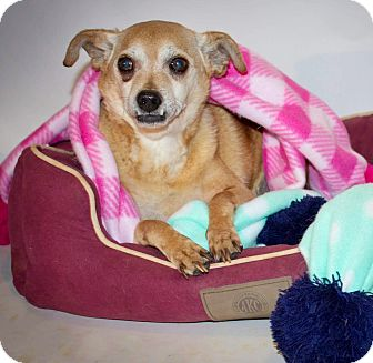 Chihuahua Mix Dog for adoption in Kingston, Tennessee - Baby
