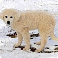 Great Pyrenees Mix Puppy for adoption in Andover, Connecticut - PUPPY SNOWFLAKE