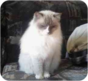 Ragdoll Cat for adoption in Keizer, Oregon - Belle in Bend, OR