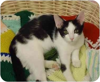 Domestic Shorthair Kitten for adoption in Chicago, Illinois - Skipperling