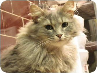 Domestic Mediumhair Cat for adoption in Centerburg, Ohio - Daisy