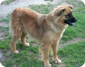 Chow Chow/Golden Retriever Mix Dog for adoption in Southampton, Pennsylvania - Maxine