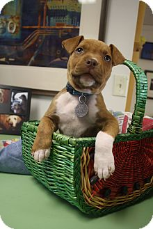 Pit Bull Terrier/American Bulldog Mix Puppy for adoption in Homewood, Alabama - Sadie