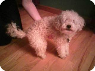 Poodle (Miniature) Dog for adoption in Bluff city, Tennessee - SADIE
