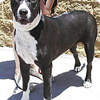 Adopt A Pet :: Nimmo - Gilbert, AZ