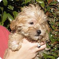 Adopt A Pet :: BERT - 2 lbs of fluff - Chicago, IL