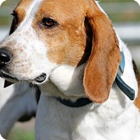 Beagle Dog for adoption in New Smyrna beach, Florida - Scout