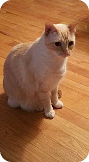 Siamese Cat for adoption in Rockford, Illinois - Meow