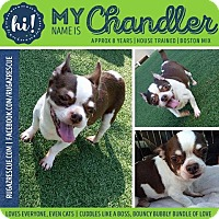 Adopt A Pet :: Chandler - New Port Richey, FL
