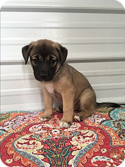 German Shepherd Dog/Labrador Retriever Mix Puppy for adoption in Russellville, Kentucky - Merritt
